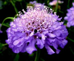 Purple pinhead by Heidipickels