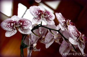 Orchid Show 1 by bohemiandog