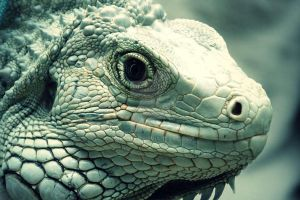 Iguana close up by poshbeck