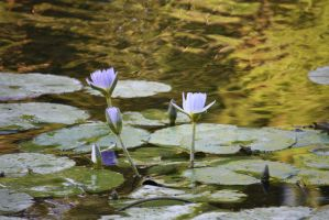 water lilies in pond 0811 by fa-stock