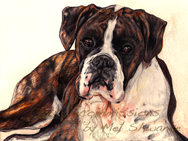 Coloured Pencil Boxer by MelShwanke