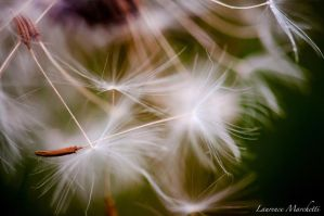 Dandelions by Gallynette