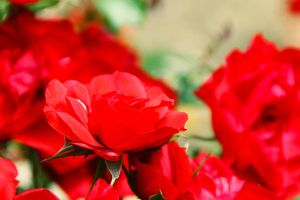 Red roses by thelastrunaway