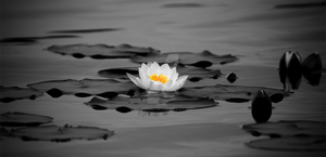 waterlily by klommo