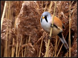Bearded Tit by cycoze