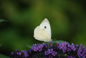 Cabbage Butterfly by hoshitsu