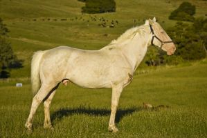 Cremello Stallion by DWDStock