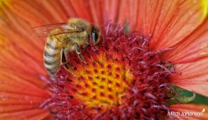 The Bee and the Flaming Flower by mjohanson