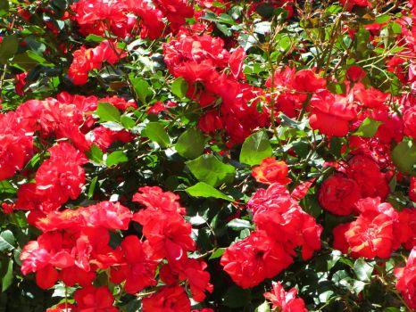 Roses / roze by Maxim241