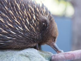Rudolph the Echidna by JolanthusTrel