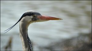 Heron Headshot by Somebody-Somewhere