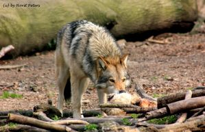 Hungry Wolf by bluesgrass