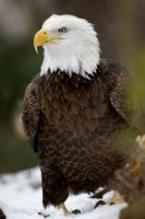 Bald Eagle 13 by Art-Photo