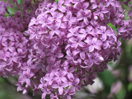 Lilac by tibit111