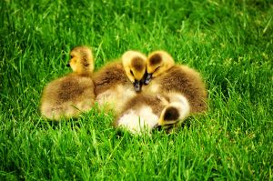 goslings by picturework-memory