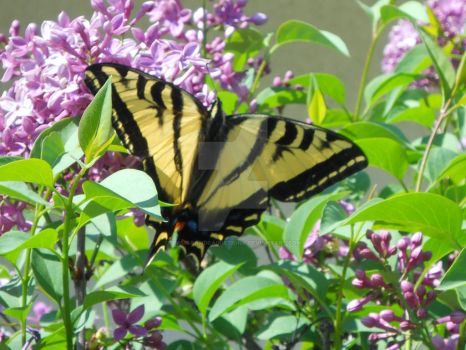 Pretty Swallowtail by OmairaAndCairistiona