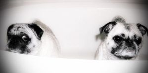 2 Pugs in a tub by vicster56
