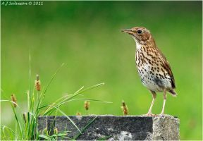 Thrush Portrait. by andy-j-s