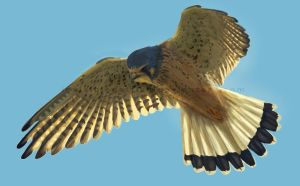 Common Kestrel by InvisibleCatfish