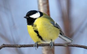 Great Tit VIII by nordfold