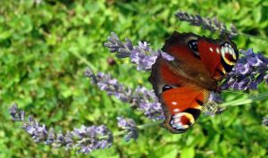 Butterfly IV by Delillah