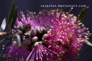 callistemon flower unfurling by serasfan