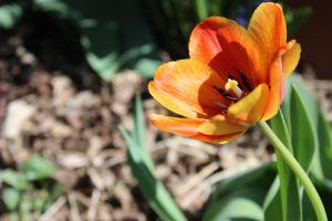 Spring Tulip by Toderico