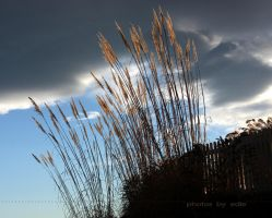 Tall Grasses by 1001G