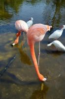 Flamingo Stock Photo DSC 0345 by annamae22
