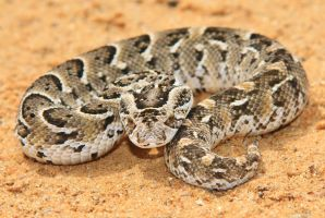Night Adder - Ready to Strike by LivingWild