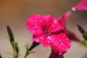 Pansy Droplets 2 by Tyyourshoes