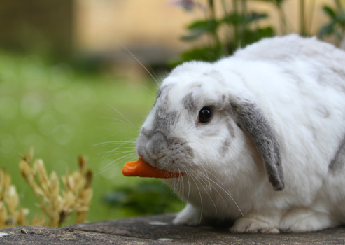 Holland Lop Bunny with carrot by pony-pie