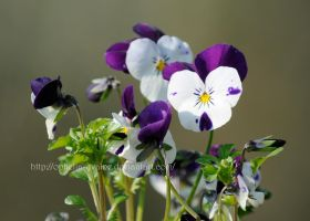 Pansies 2 by Ophelia-Yvaine