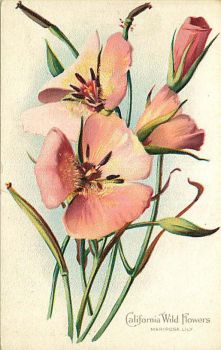 California Wild Flowers - Pink Mariposa Lily by Yesterdays-Paper