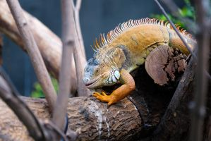 Iguana coming to get you by Cyssoo