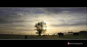 Cows in the fog. by Betuwefotograaf