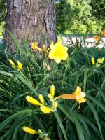 Stella D'oro Day Lily 7 by racheltorres921