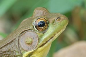 Green Frog. by buckobeck
