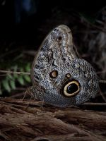 Owl butterfly by Helens-Serendipity
