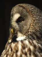 Great Grey Owl by Shadow-and-Flame-86