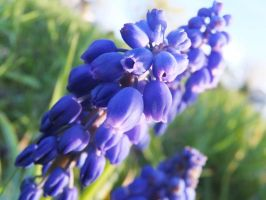Muscari Flower by XxSilverOwl13xX