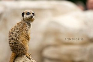 Meerkat No. 4 by Vic-R