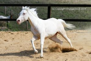 Kr arabian canter launch front by Chunga-Stock
