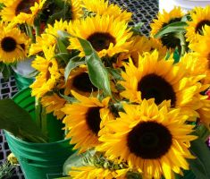sunflowers at market by AuTuMn-Lee