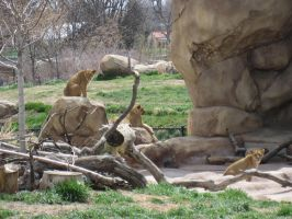 Lions at the Zoo 1 by Collidoscope