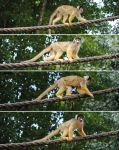 Squirrel Monkey by PirateLotus-Stock
