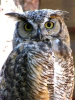 Great-Horned Owl by Teh-Pandacoon