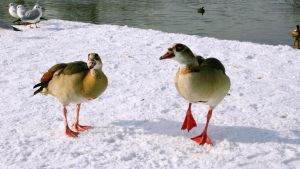 Nile goose in the snow by UdoChristmann