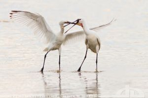 The Spoonbill Show by thrumyeye
