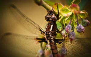 Dragonfly 2 by juhitsome